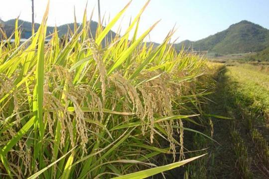 경북도, 18년산 쌀 변동직불금 147억원 지급