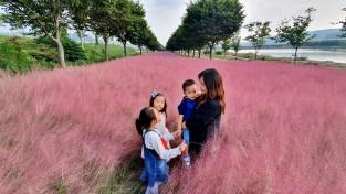 군위 위천변 '핑크뮬리' 인기